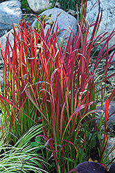 Red Baron Japanese Blood Grass (Imperata cylindrica 'Red Baron') at Cole's Florist & Garden Centre