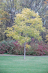 Kentucky Coffeetree (Gymnocladus dioicus) at Cole's Florist & Garden Centre