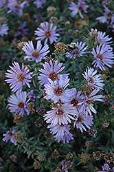 Woods Blue Aster (Aster 'Woods Blue') at Cole's Florist & Garden Centre