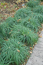 Blue Sedge (Carex glauca) at Cole's Florist & Garden Centre