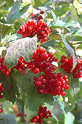 Wentworth Highbush Cranberry (Viburnum trilobum 'Wentworth') at Cole's Florist & Garden Centre