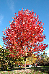 Autumn Blaze Maple (Acer x freemanii 'Jeffersred') at Cole's Florist & Garden Centre
