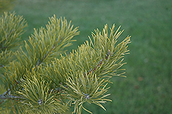 Scotch Pine (Pinus sylvestris) at Cole's Florist & Garden Centre