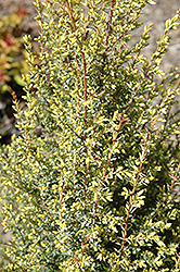 Gold Cone Juniper (Juniperus communis 'Gold Cone') at Cole's Florist & Garden Centre