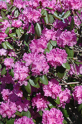 P.J.M. Rhododendron (Rhododendron 'P.J.M.') at Cole's Florist & Garden Centre