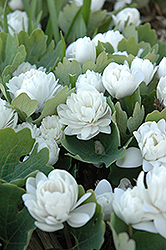 Bloodroot (Sanguinaria canadensis) at Cole's Florist & Garden Centre