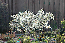 Autumn Brilliance Serviceberry (Amelanchier x grandiflora 'Autumn Brilliance') at Cole's Florist & Garden Centre