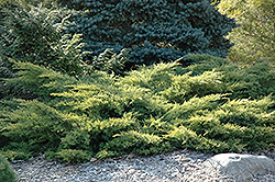 Gold Star Juniper (Juniperus chinensis 'Bakaurea') at Cole's Florist & Garden Centre