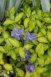Illumination Periwinkle (Vinca minor 'Illumination') at Cole's Florist & Garden Centre