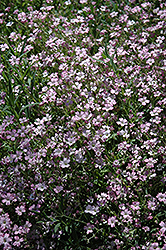 Red Creeping Baby's Breath (Gypsophila repens 'Rubra') at Cole's Florist & Garden Centre