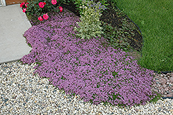 Red Creeping Thyme (Thymus praecox 'Coccineus') at Cole's Florist & Garden Centre