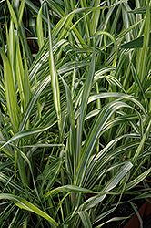 Strawberries And Cream Ribbon Grass (Phalaris arundinacea 'Strawberries And Cream') at Cole's Florist & Garden Centre