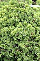 Little Gem Spruce (Picea abies 'Little Gem') at Cole's Florist & Garden Centre