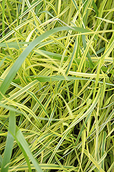 Variegated Palm Sedge (Carex muskingumensis 'Oehme') at Cole's Florist & Garden Centre