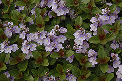 Waterperry Blue Speedwell (Veronica 'Waterperry Blue') at Cole's Florist & Garden Centre