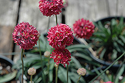 Joystick Red Sea Thrift (Armeria pseudarmeria 'Joystick Red') at Cole's Florist & Garden Centre