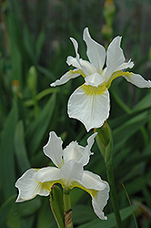 Snow Queen Siberian Iris (Iris sibirica 'Snow Queen') at Cole's Florist & Garden Centre