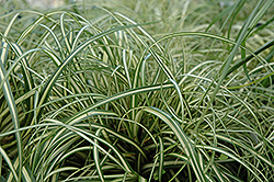 Evergold Variegated Japanese Sedge (Carex oshimensis 'Evergold') at Cole's Florist & Garden Centre