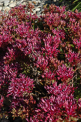 Dragon's Blood Stonecrop (Sedum spurium) at Cole's Florist & Garden Centre