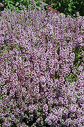 Mother-of-Thyme (Thymus praecox) at Cole's Florist & Garden Centre