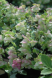 Kent Beauty Oregano (Origanum rotundifolium 'Kent Beauty') at Cole's Florist & Garden Centre