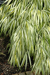 Golden Variegated Hakone Grass (Hakonechloa macra 'Aureola') at Cole's Florist & Garden Centre