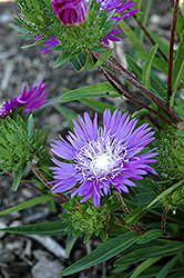 Honeysong Purple Aster (Stokesia laevis 'Honeysong Purple') at Cole's Florist & Garden Centre