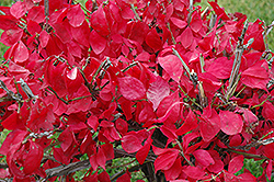 Compact Winged Burning Bush (Euonymus alatus 'Compactus') at Cole's Florist & Garden Centre