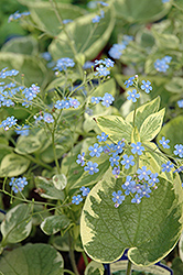 Hadspen Cream Bugloss (Brunnera macrophylla 'Hadspen Cream') at Cole's Florist & Garden Centre