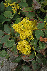 Creeping Mahonia (Mahonia repens) at Cole's Florist & Garden Centre