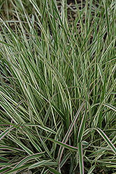 Variegated Reed Grass (Calamagrostis x acutiflora 'Overdam') at Cole's Florist & Garden Centre