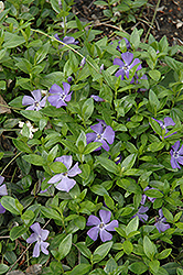 Common Periwinkle (Vinca minor) at Cole's Florist & Garden Centre