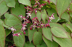 Bishop's Hat (Epimedium x rubrum) at Cole's Florist & Garden Centre