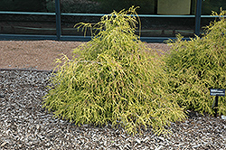 Sungold Falsecypress (Chamaecyparis pisifera 'Sungold') at Cole's Florist & Garden Centre
