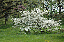 White Cloud Flowering Dogwood (Cornus florida 'White Cloud') at Cole's Florist & Garden Centre