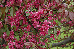 Profusion Flowering Crab (Malus 'Profusion') at Cole's Florist & Garden Centre