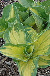 Great Expectations Hosta (Hosta 'Great Expectations') at Cole's Florist & Garden Centre