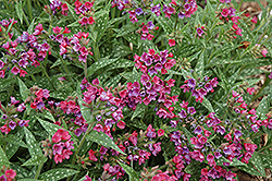 Raspberry Splash Lungwort (Pulmonaria 'Raspberry Splash') at Cole's Florist & Garden Centre
