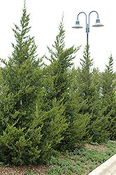 Fairview Juniper (Juniperus chinensis 'Fairview') at Cole's Florist & Garden Centre