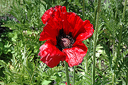Beauty of Livermere Poppy (Papaver orientale 'Beauty of Livermere') at Cole's Florist & Garden Centre