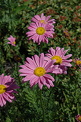 Robinson's Pink Painted Daisy (Tanacetum coccineum 'Robinson's Pink') at Cole's Florist & Garden Centre