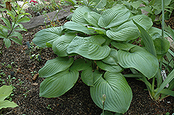 Fried Green Tomatoes Hosta (Hosta 'Fried Green Tomatoes') at Cole's Florist & Garden Centre