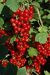 Red Lake Red Currant (Ribes sativum 'Red Lake') at Cole's Florist & Garden Centre