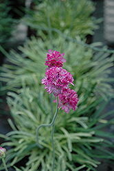 Nifty Thrifty Sea Thrift (Armeria maritima 'Nifty Thrifty') at Cole's Florist & Garden Centre