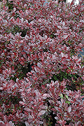 Cherry Bomb Japanese Barberry (Berberis thunbergii 'Monomb') at Cole's Florist & Garden Centre