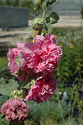 Chater's Double Pink Hollyhock (Alcea rosea 'Chater's Double Pink') at Cole's Florist & Garden Centre