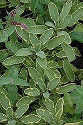 Icterina Golden Sage (Salvia officinalis 'Icterina') at Cole's Florist & Garden Centre