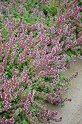Gold Edge Lemon Thyme (Thymus x citriodorus 'Gold Edge') at Cole's Florist & Garden Centre