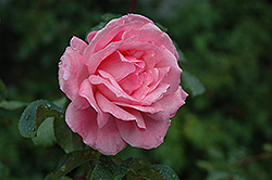 Queen Elizabeth Rose (Rosa 'Queen Elizabeth') at Cole's Florist & Garden Centre