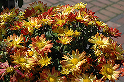 Dazzling Stacy Chrysanthemum (Chrysanthemum 'Dazzling Stacy') at Cole's Florist & Garden Centre